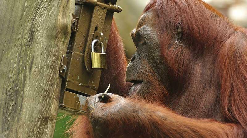 Ape Picking Lock