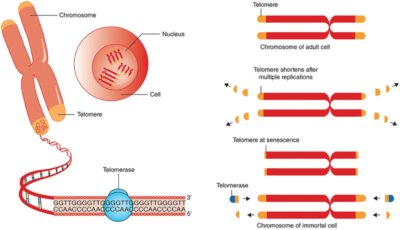 What Are Telomeres And Can They Predict Lifespan?